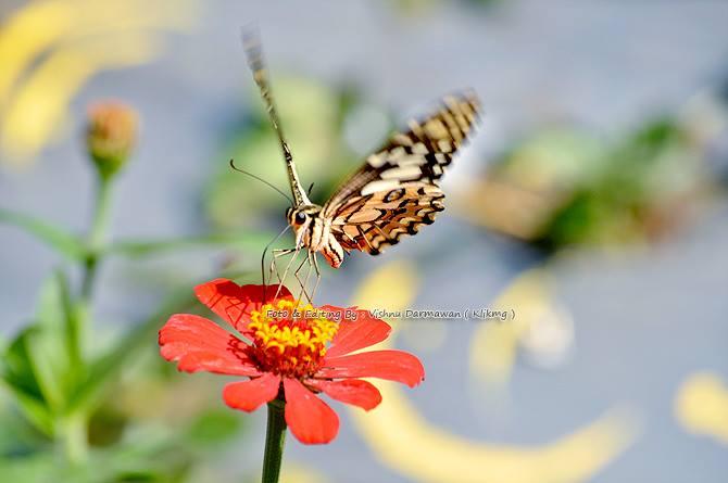 Butterflies & Flowers || Fotografer : Vishnu Darmawan ( Klikmg ) Fotografer Purwokerto