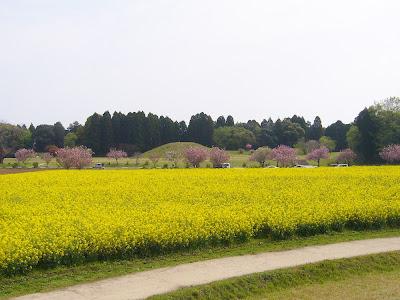 宮崎県・西都原古墳群の桜と菜の花