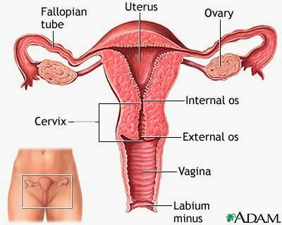 Obsgyn Physiological Adaptations In Pregnancy Anatomical Changes