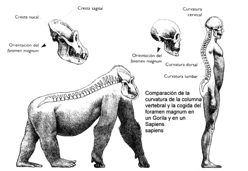 Foramen magno en gorila y humanos