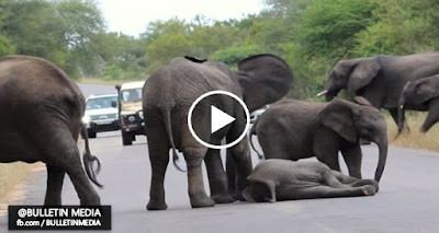 Video - Anak Gajah Pengsan Punca Jalan Sesak Di Hutan