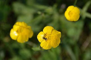 Oxalis Wildflower
