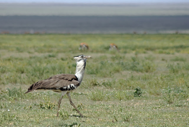 Buy stretched canvas wallart of Kori Bustard