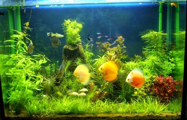 Cara Merawat Ikan Hias dalam Aquarium Dengan Baik Agar Tetap Sehat dan Lincah