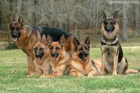 siberian husky jenis anjing