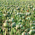 Devoll, 150 opium plants seized by police