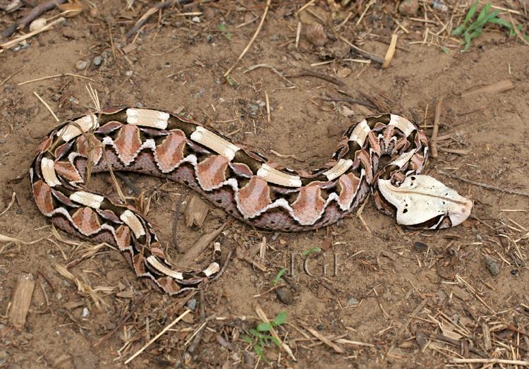 Snakes: Gaboon Viper