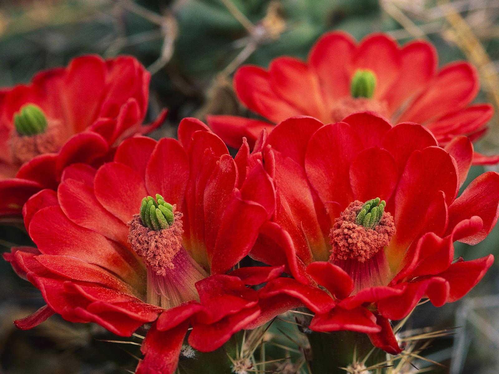 Cactus_Flowers-20141.jpg