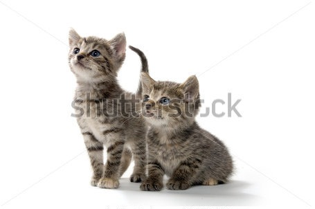 Cute-Silver-Tabby-Kittens-Pictures.png