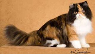 Kucing Persia Si Cantik Berhidung Pesek