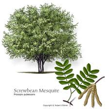 Mesquite health benefits