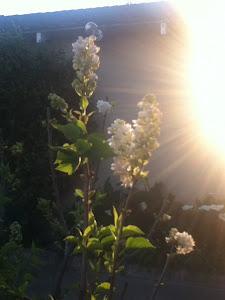 Gustine Flower