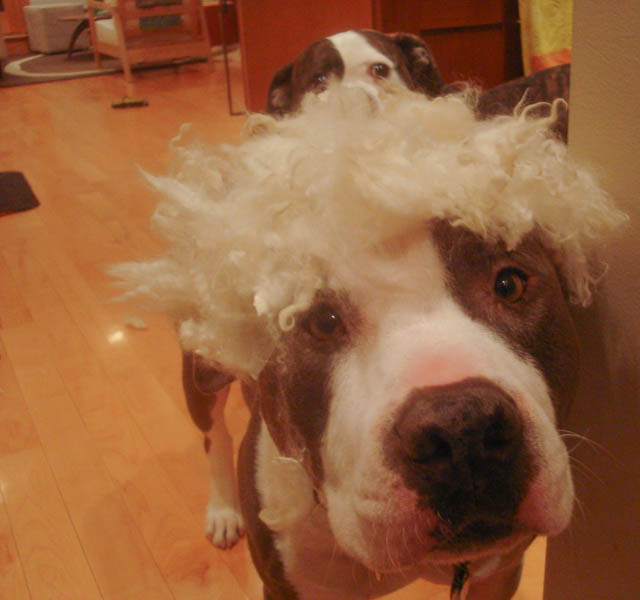 Dog Biting Rugs: Two Pitties In The City: DoggyStyle: On Dogs And Fluffy Rugs