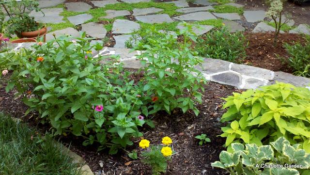 zinnias and herbs