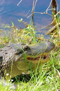 American Alligator 8