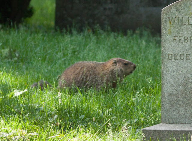 Groundhog - Greenwood Cemetery, New York