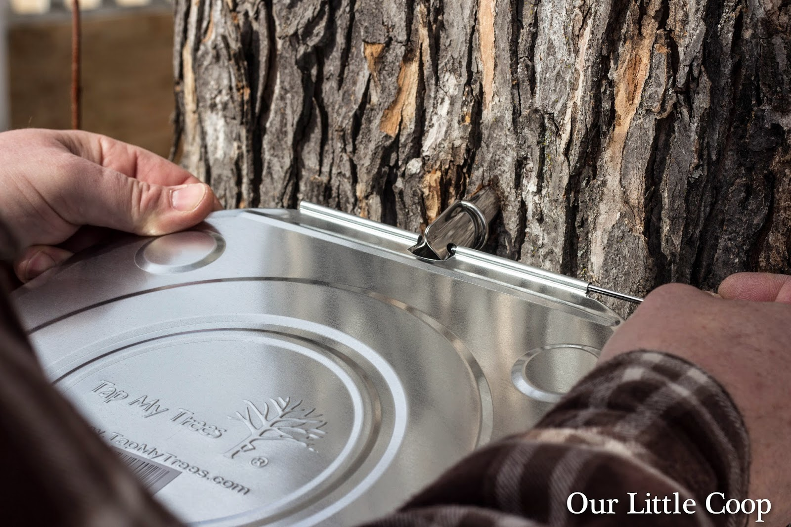 tap my tree maple tree sap bucket lid how to