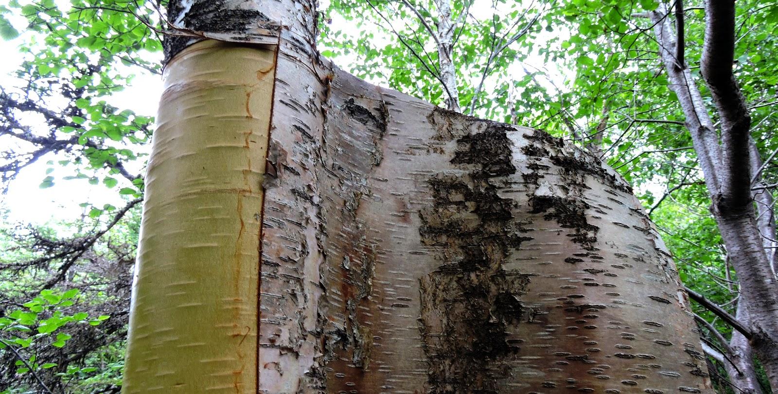 Elfshot Harvesting Birch Bark