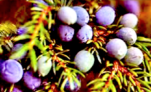 http://fr.wikipedia.org/wiki/Juniperus_communis