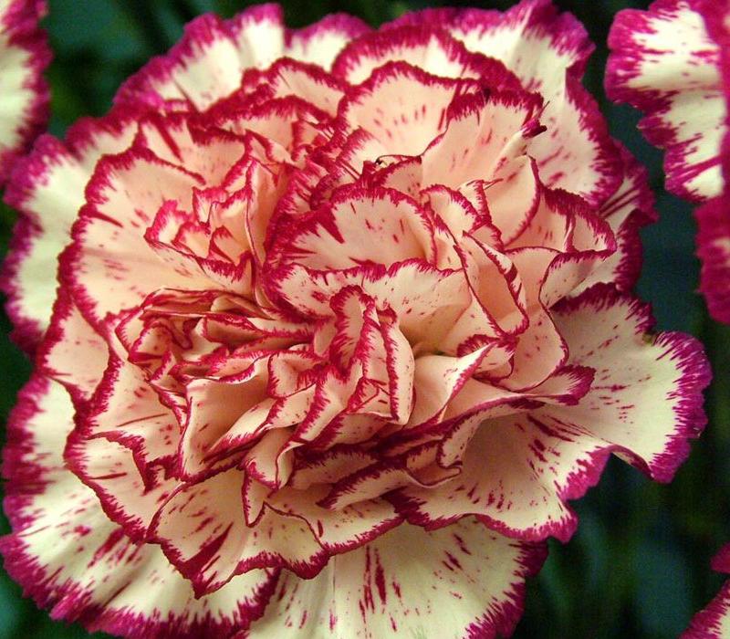 Carnations flowers growing carnation flower growing carnation flower mightylinksfo