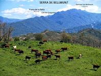 Vaques pasturant als camps de Can Carriel i al seu darrere la Serra de Bellmunt amb el santuari homònim en un extrem