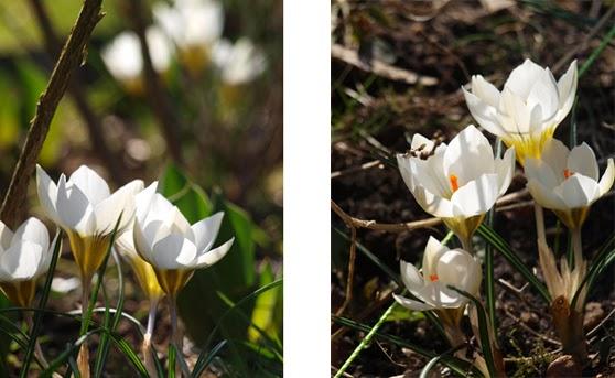 Hvide krokus i haven giver fortryllende forårsstemning til haverummene