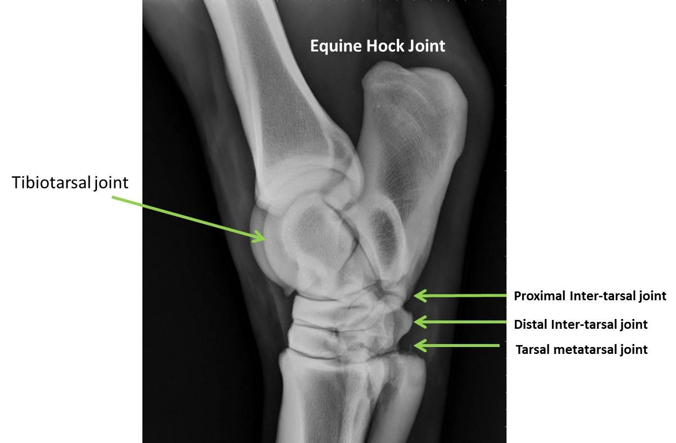Arthritis In Horses Hocks - Best Image Konpax 2018