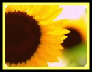 Tu el Sol y yo el Girasol