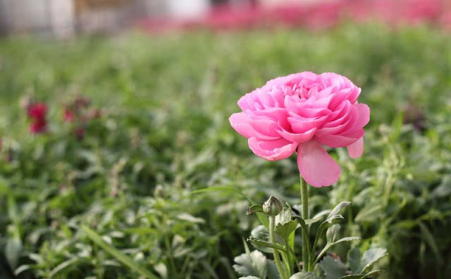 Persian Buttercup Flowers Pictures