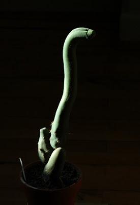 Penis Cactus / Penis Plant - monstrose Trichocereus bridgesii - The Full Monty