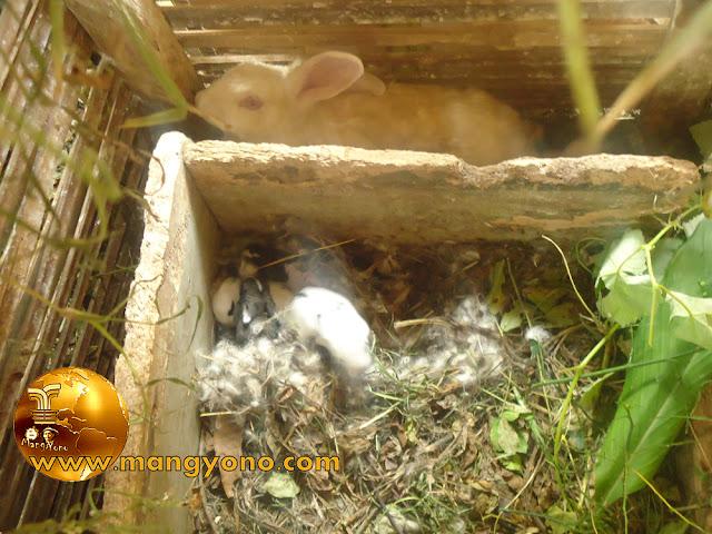 Pembuatan kotak untuk beranak kelinci