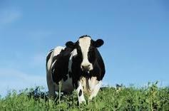 Vacas sanas y cómodas significan mayor producción de leche!