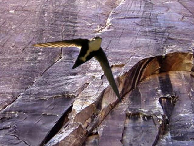 White-throated Swift in Black Velvet Canyon