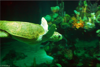 Epcot's Living Seas Sea Turtle photo ©DebSilhan