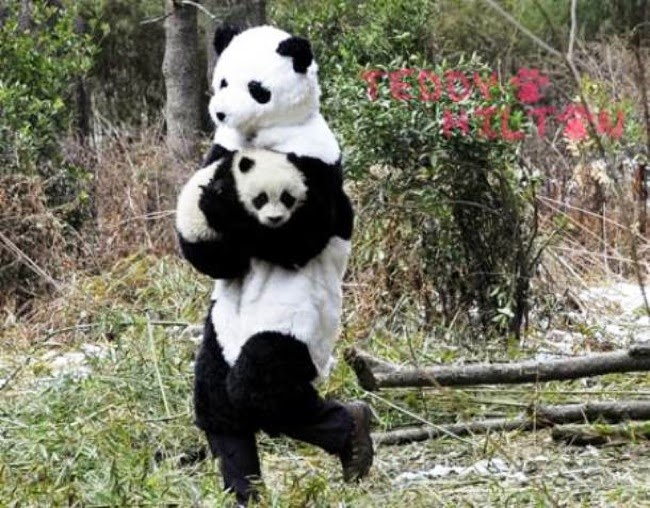 #6. Since human raised pandas have a hard time adapting to the wild, Chinese scientists wear panda outfits every time they deal with baby pandas. - 24 Happy Animal Photos Made Possible By The People Who Saved Them.