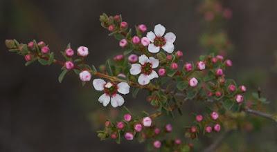 Large-flowered Baeckea (Baeckea grandiflora)