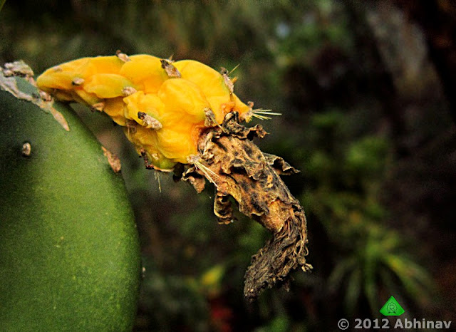 Cactus - Opuntia cochenillifera