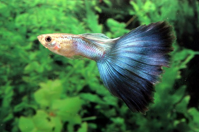 guppy the guppy is an omnivorous animal and eats a