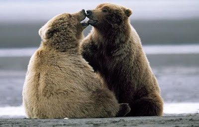 bears about to kiss