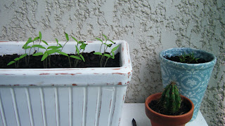 Tomateiros semeados numa floreira