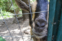 Close up of Nigerian Dwarf goat sticking nose through fence