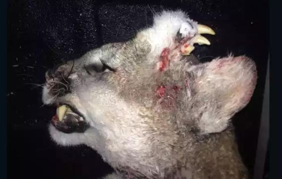 A hunter killed a mountain lion...and saw a deformity never seen before [ Photo ]