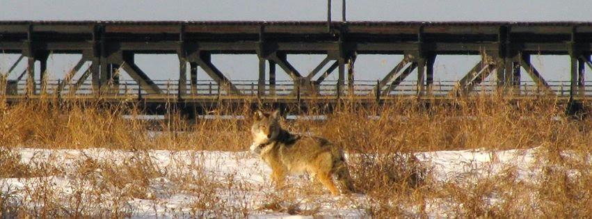 edmonton coyote