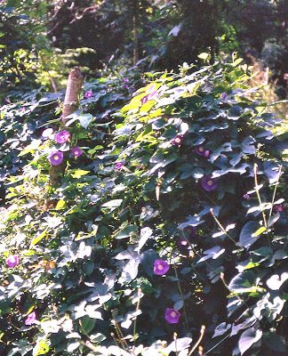 purple morning glories, climbing over everything