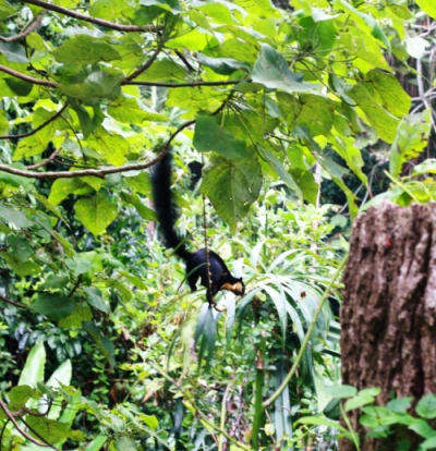 Malayan Giant Squirrel near Uplands School on Penang Hill