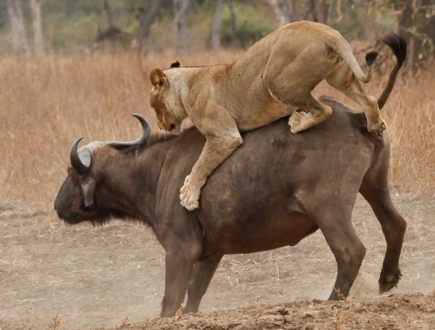 Asiatic lion hunting