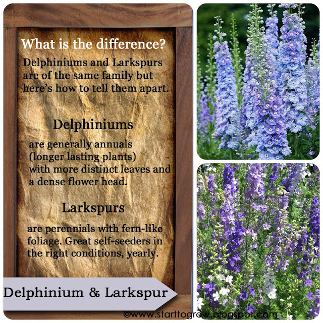 What's the difference between Delphiniums and Larkspurs?