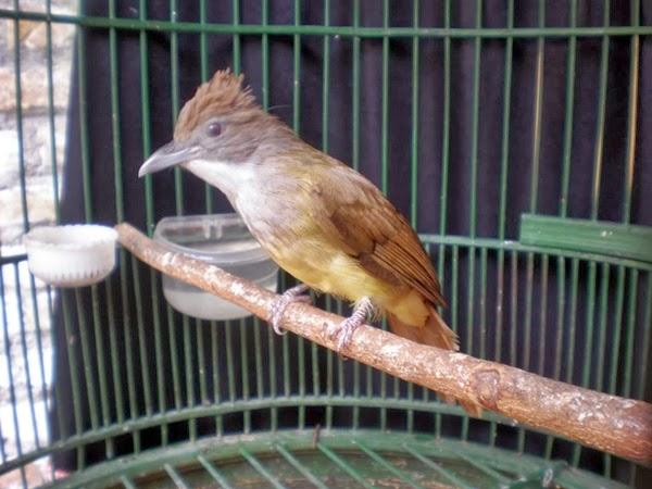 memasterkan burung lain dengan cucak jenggot ocehan burung