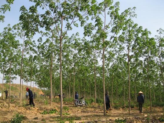 Dân Gia Lai bức xúc việc chuyển đổi 50.000 ha rừng trồng cao su