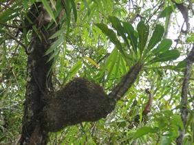 sarang semut putih papua